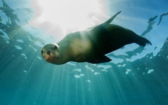 Un lion de mer venant à moi dans les eaux du Mexique. © Andrea Izzotti – Fotolia