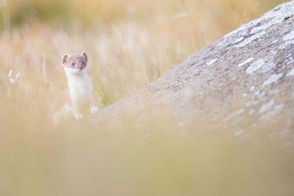 Une hermine de Savoie, prise ici vers 2400m d'altitude cet été. Elle a sa tenue estivale marron et blanche.