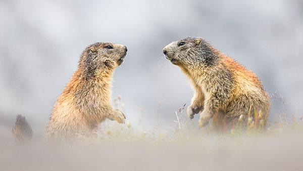 Deux marmottes jouaient ensemble dans un face-à-face!