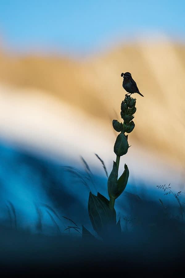 Un tarier des prés ramenant une chenille pour sa progéniture, cet oiseau affectionne les grands supports telle cette gentiane.